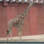 Jirafa/Giraffe