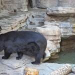 Oso Negro/Black Bear
